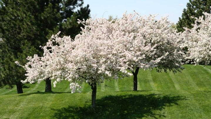 How to Attract Pollinators: cherry trees in bloom