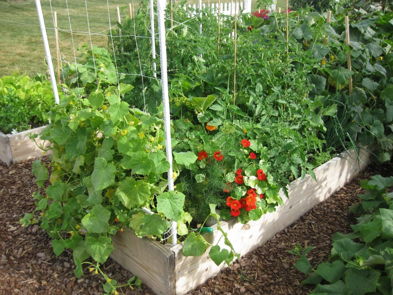 A wooden raised bed garden with trellis supports grows a variety of bountiful green plants.