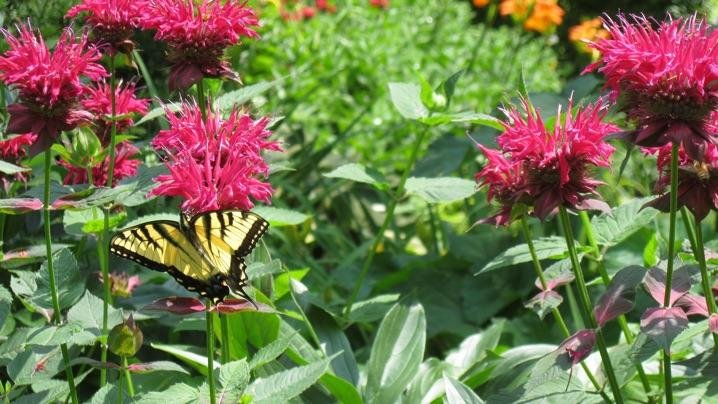 How to Attract Pollinators: butterfly in pollinator garden