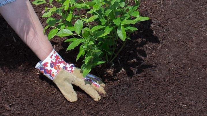 How to Mulch Blueberries