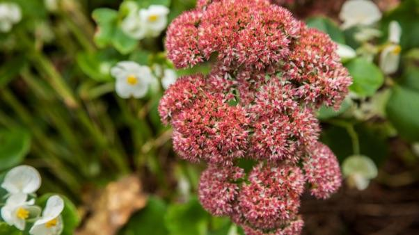 pink and white sedum