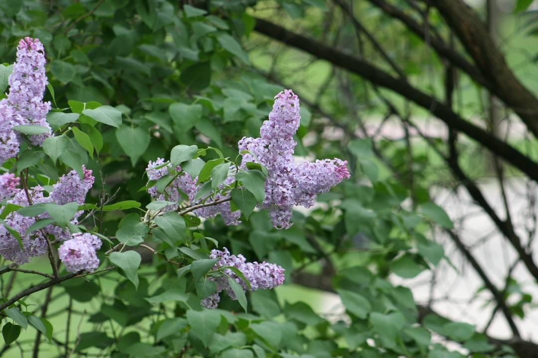 Blooming purple lilacs