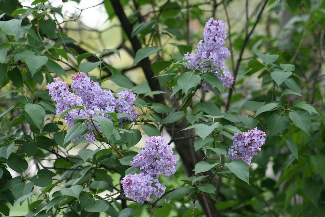 Now Lilacs Are Blooming In March >> How To Grow Lilacs Miracle Gro