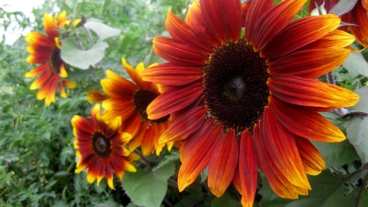 How To Grow Sunflowers Miracle Gro