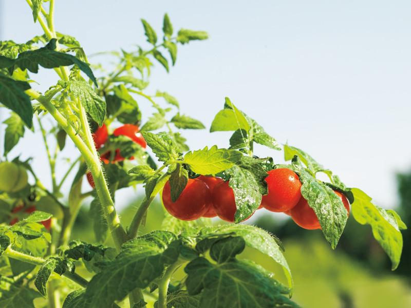 Bright red tomatoes grow on their vine.