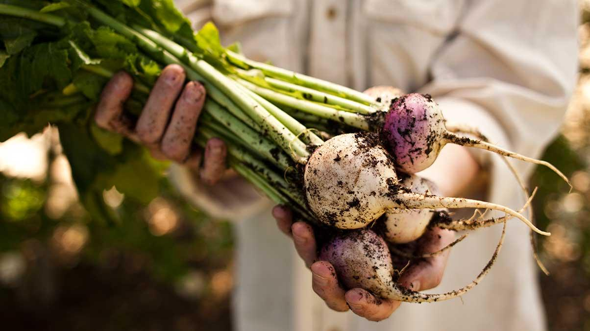 Man golding turnips in his hands.