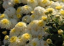 Plant mums for plenty of fall color miracle gro canada planting your mums in the garden mightylinksfo