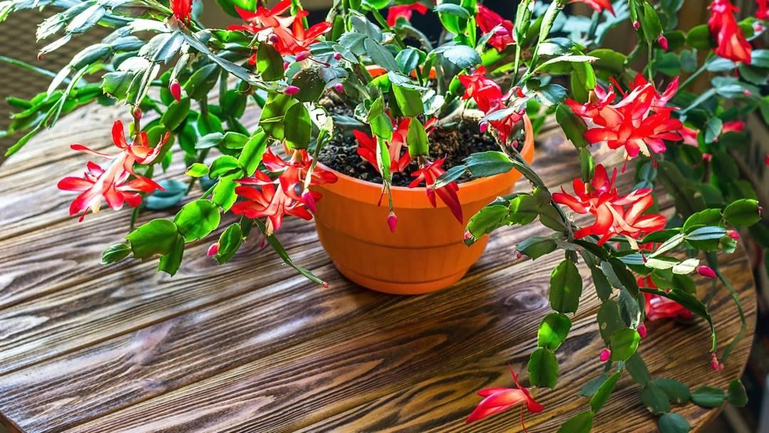 potted Christmas cactus with red flowers on wood table