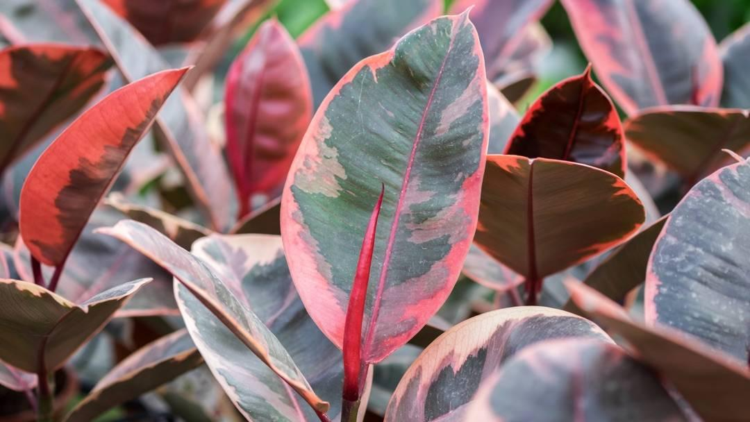 green and pink rubber plant leaves