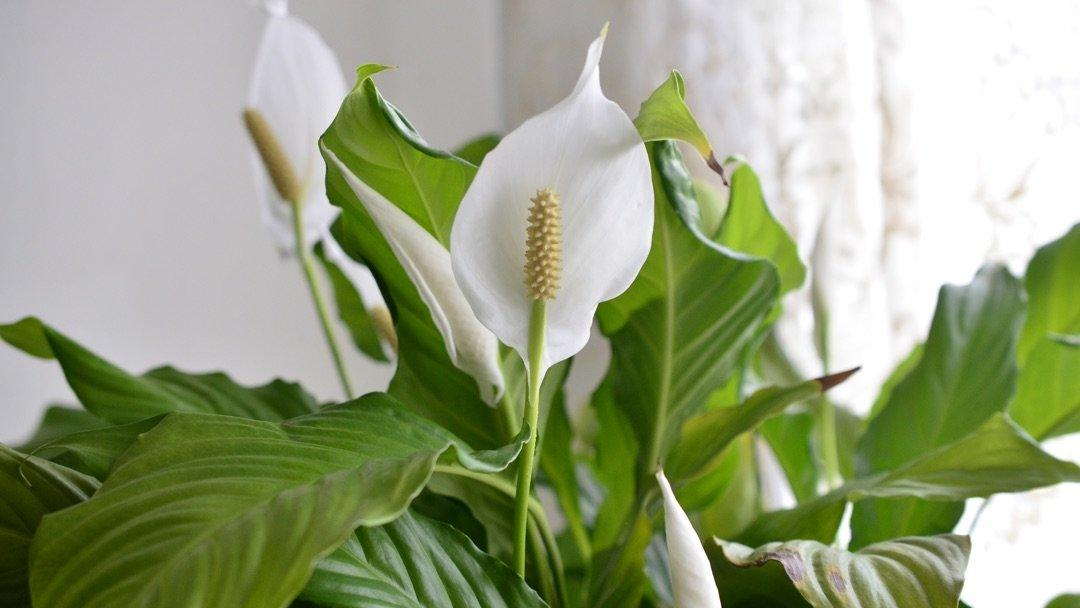 How To Plant Grow Care For Peace Lilies Miracle Gro