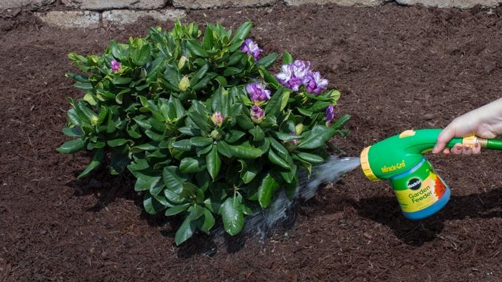 How to Grow Rhododendrons