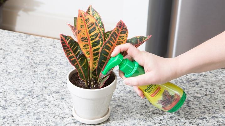 How To Feed Croton Plants