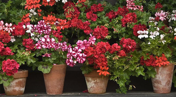 Miracle-Gro & Growing Geraniums | Miracle-Gro