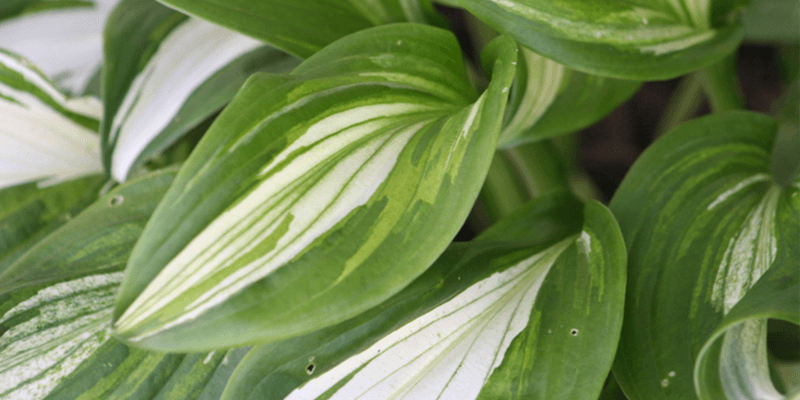 How To Grow Hostas Miracle Gro