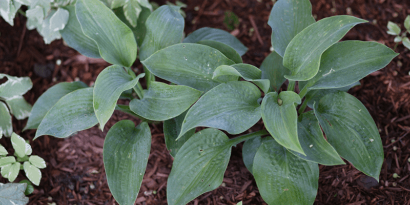 Growing Hostas