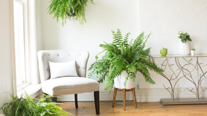 How to Grow Boston Ferns