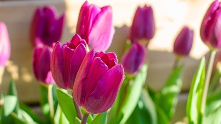 These Are Our Tulips Today >> How To Grow Tulips Miracle Gro