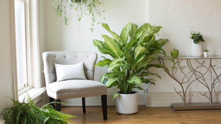 How To Grow Dieffenbachia Dieffenbachia Care