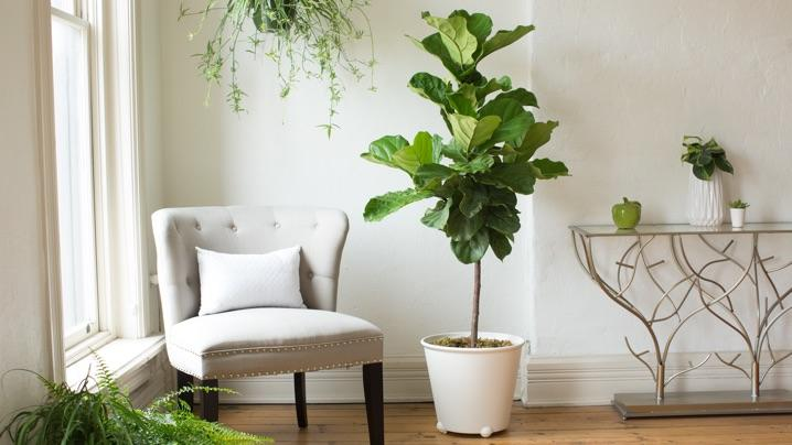 How To Grow Fiddle Leaf Figs