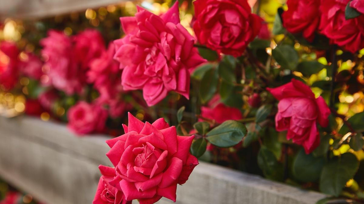 Pink roses blooming along a wooden fence