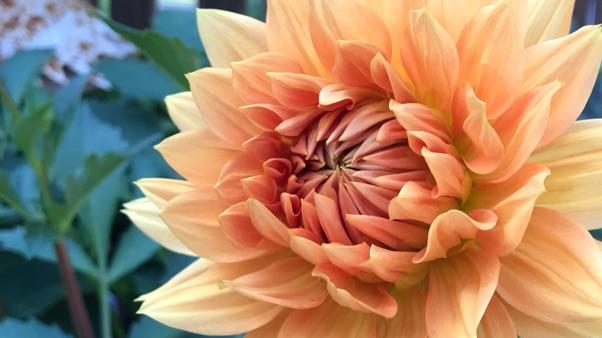 How To Grow Dahlias Miracle Gro