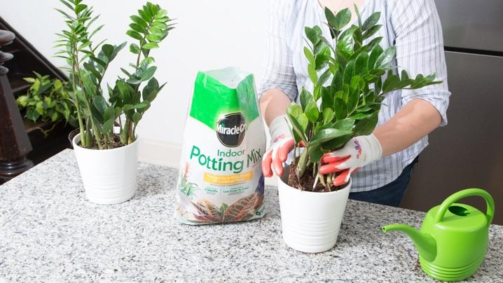 How to Plant ZZ Plants
