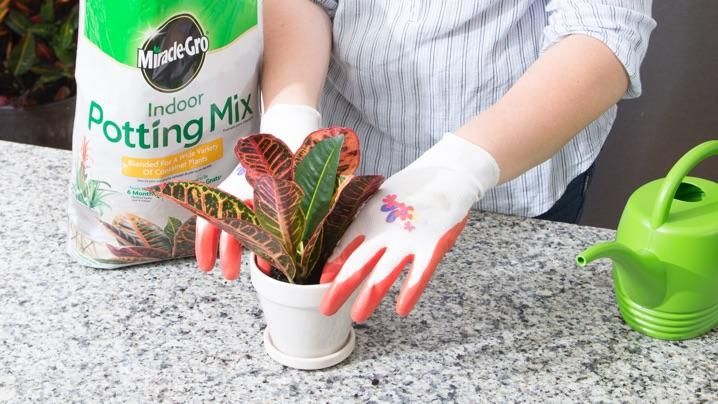 How to Grow Croton Plants   Miracle-Gro