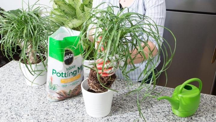 How to Grow Ponytail Palms | Miracle-Gro