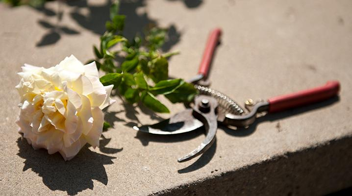 Pruning Roses Clippers