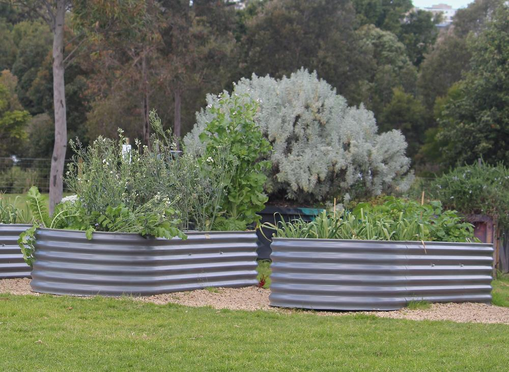 Large stock tanks placed on a field double as metal raised bed gardens, from which corn and a variety of plants are growing.