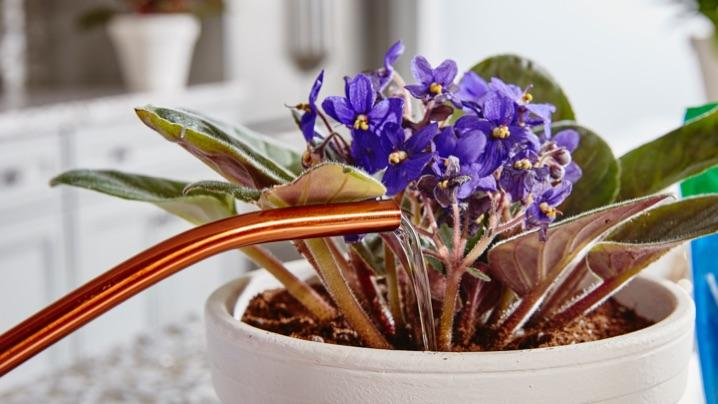 How to Grow African Violets