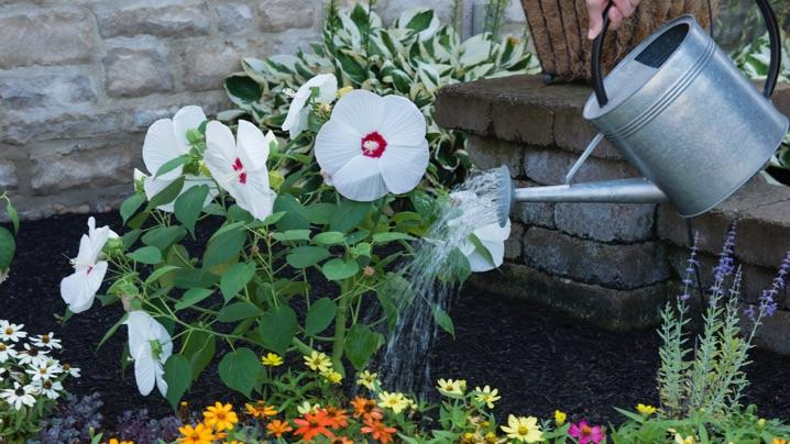 How To Grow Hibiscus Miracle Gro
