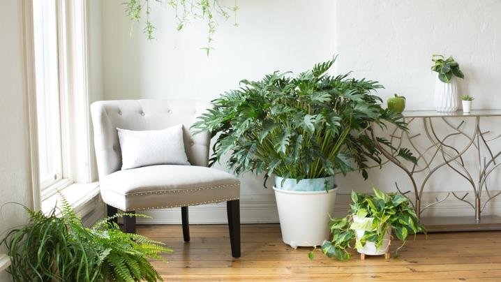 How to Grow Philodendrons