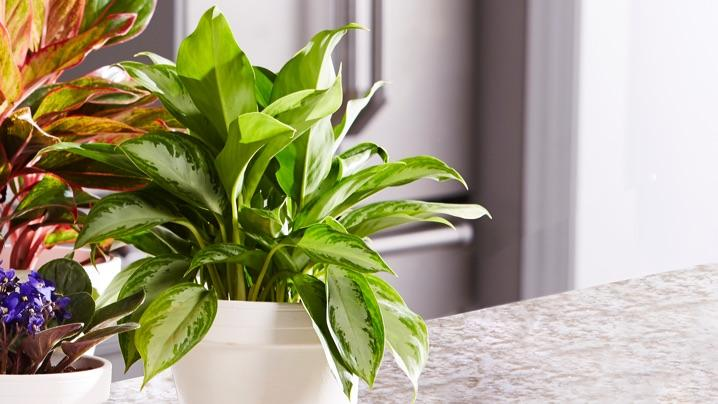 How to Grow Dieffenbachia
