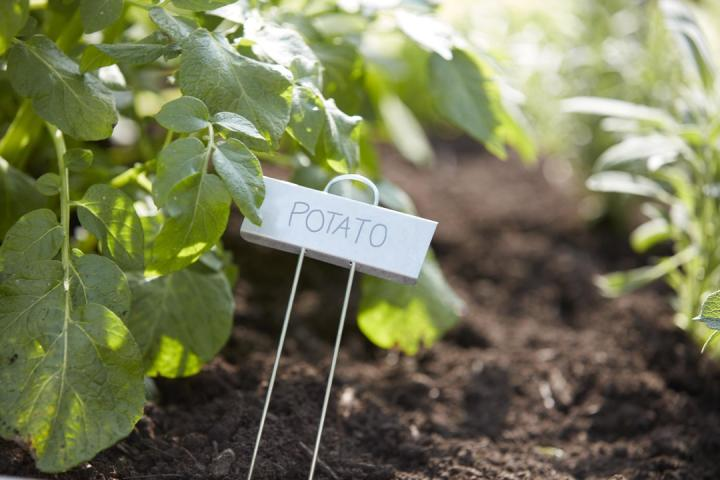 """Green plants growing in soil with a plant marker reading """"Potato."""""""