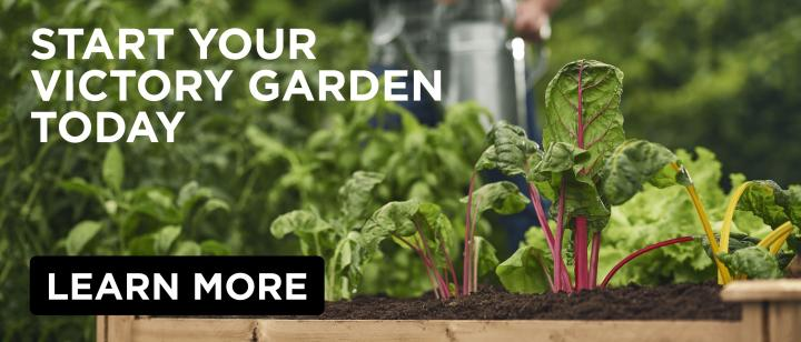 Start Your Victory Garden Today: raised bed planted with rainbow Swiss chard