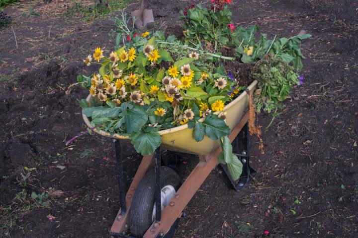 Dead plants and yellow flowers in a yellow wheelbarrow.