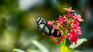 The nectar from a tropical plant provides food for a colorful butterfly.