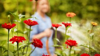 Image focused on fresh flowers while woman waters in the background