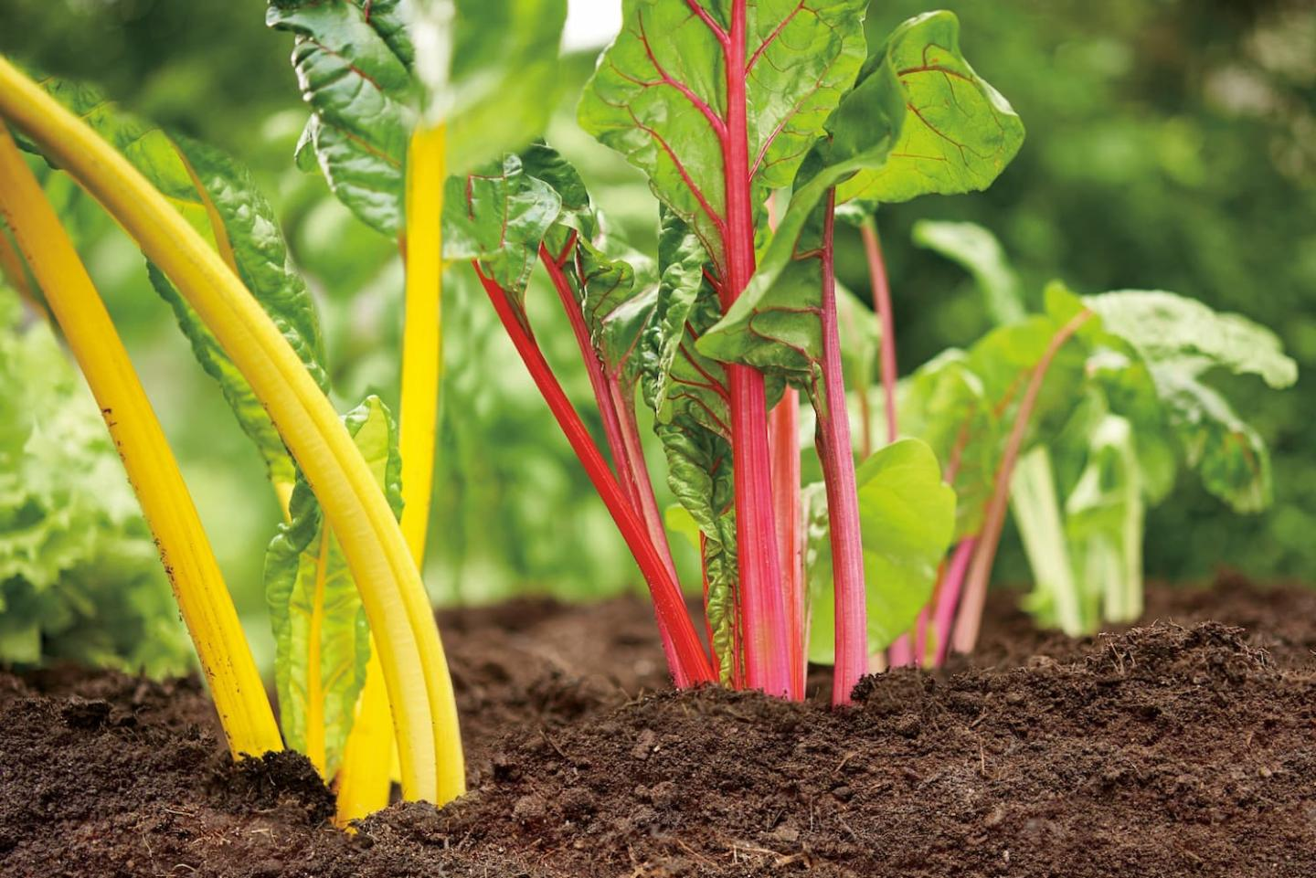 Colorful Swiss chard in brown dirt.