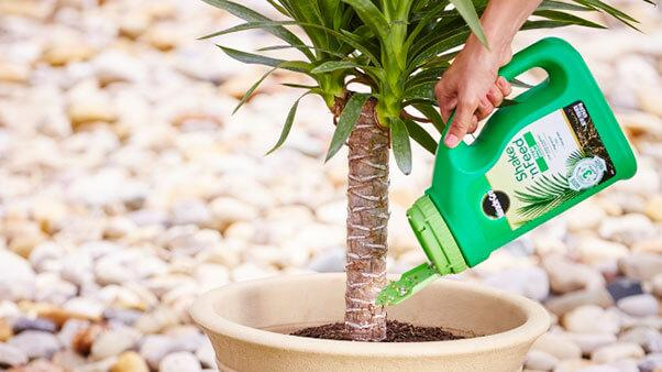 Feeding palm tree with Miracle-Gro Palm Tree Plant Food.