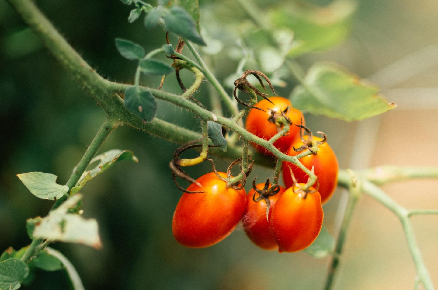 Red tomatoes growing on a green vine.