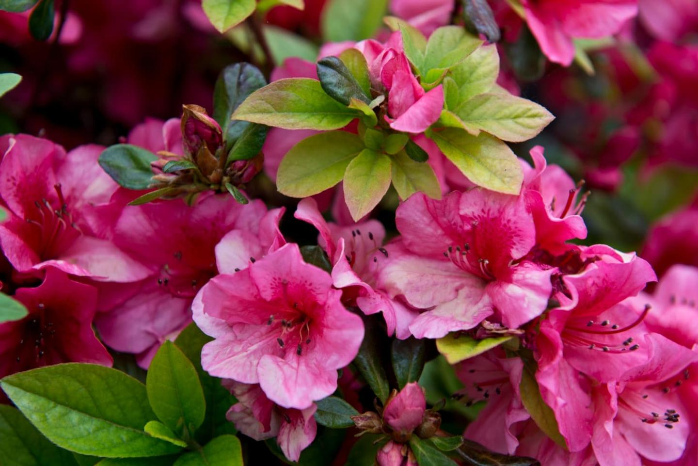Pink flowers growing with green leaves.