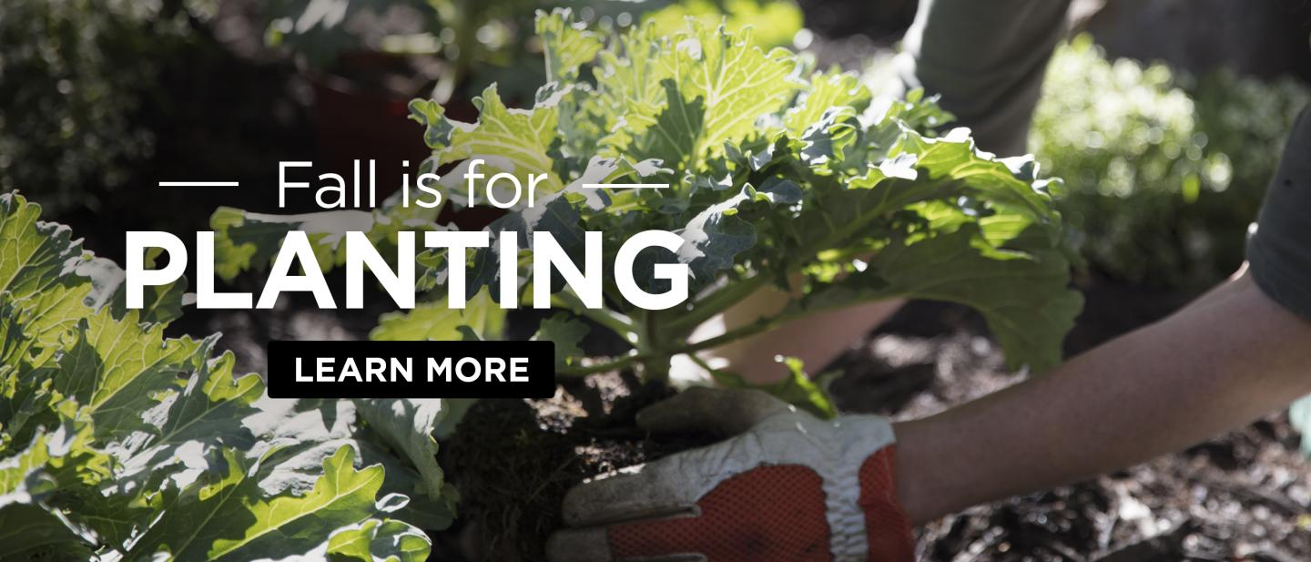 Fall is for planting - Learn More - Woman planting cabbage in a garden.