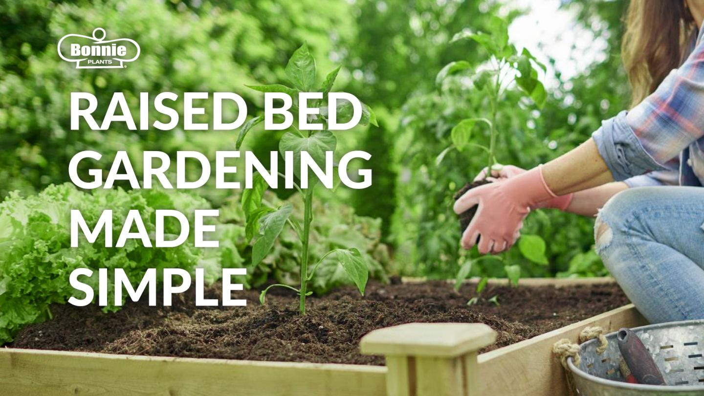 A woman standing over a raised bed garden.