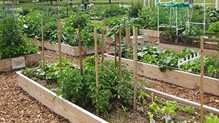 Vegetable raised bed gardens built in a row.