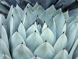 Growing Agave Plants For Beauty Easy Care Miracle Gro