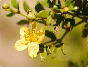 Creosote Bush Spring Flowers Easy Care Flowers Landscaping
