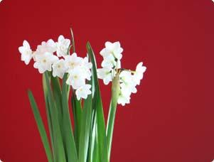 A group paperwhite flowers in front of a red wall.