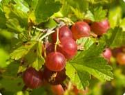 Red gooseberries growing on a bush.